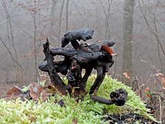 Skulptur (onnola) Tags: koblenz arzheim rheinlandpfalz deutschland rhinelandpalatinate germany nebel mist wald forest winter pilz funghi mushroom moos moss