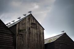 Seagulls on huts (coesy) Tags: hastings huts seagull winter birds sky seaside moody