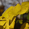 2016_11_0383 (petermit2) Tags: leaf autumn pottericcarr potteric doncaster southyorkshire yorkshirewildlifetrust wildlifetrust ywt backlit