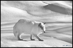 Arctiv Fox at Parc Omega (Barb the Fotographer) Tags: arcticfox captive parcomega winter snow