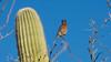 Western bluebird on the Esperero Trail, Sabino Canyon (Distraction Limited) Tags: sabinocanyon coronadonationalforest santacatalinamountains catalinamountains catalinas nature tucson arizona sabinocanyon20170104 westernbluebird sialiamexicana bluebirds sialia birds espererotrail