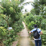 Making our way back to the boat through the Pomelo orchard thumbnail