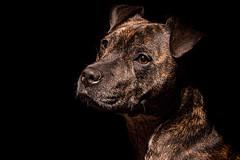 Staffie Portrait (dattenphotos) Tags: staffie pet portrit low key lowkey