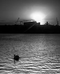 Sunrise over Roath Basin, Cardiff Bay. (All I want for Christmas is a Leica) Tags: cardiff bay swans swan silhouette sunrise roathbasin bbc docks docklands monochrome water shadows