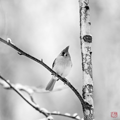 Portrait of a Titmouse (Mitymous) Tags: bw birds critters snow titmouse winter2017 yard explored