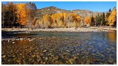 新疆可可托海    Keketuohai river, Xinjiang (C. Alice) Tags: 2013 xinjiang sonyepz1650mmf3556oss sony sonynex5r yellow autumn nature china plant tree autofocus favorites50 aatvl01 1000views 1000v40f favorites100 aatvl02 2000views 3000views 3000v120f aatvl03