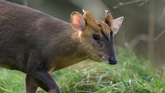Muntjac (pstani) Tags: england lackford lackfordlakes suffolk uk animal barkingdeer deer muntjac