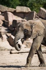 african elephant (Cloudtail the Snow Leopard) Tags: elefant tierpark berlin tier animal mammal säugetier afrikanischer african elephant loxodonta africana dickhäuter