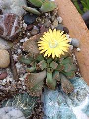 Aloinopsis hybrid? (luckhoffii perhaps?) Grown from seed.