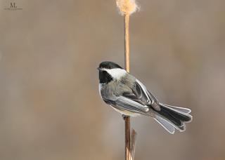 Mésange à tête noire - Poecile atricapillus - Black-capped chickadee
