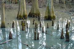 Cypress Pond (Annie is back) Tags: texas roots houston swamp cypress jessejonespark swampvegetation specnature