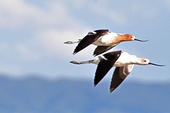 (BGale) Tags: california birds ilovenature paloalto lovely baylands avocet 80points specnature
