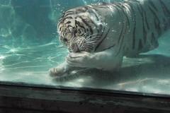 Tiger Dive (gordony2k) Tags: anawesomeshot wowiekazowie
