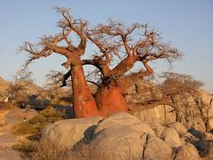 Baobab (Makgobokgobo) Tags: africa tree topv111 botswana baobab kubu makgadikgadi adansonia lekhubu kubuisland suapan lekhubuisland makgadikgadipans adansoniadigitata
