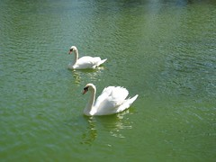 """IMG_0385 (Claire DeLand ~ """"GA Music Maker"""") Tags: geese ducks swans centurycenter babyduck"""