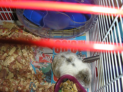 hammies 001 (Nephie) Tags: hamsters nilla