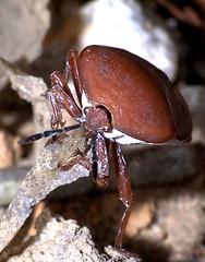 The Big Front (CharlesLam) Tags: macro insect geotagged ilovenature hongkong zoomzoom hemiptera pentatomidae lycheestinkbug tessaratomapapillosa geo:lat=2238046 geo:lon=11421822 kclama