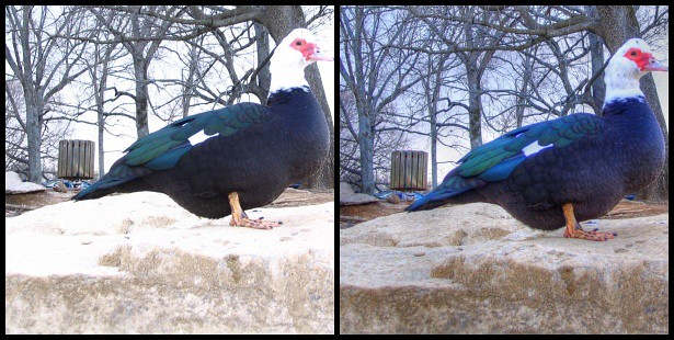 HDR muscovy duck