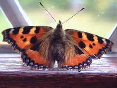 """Small Tortoiseshell Butterfly (Aglais(4) • <a style=""""font-size:0.8em;"""" href=""""http://www.flickr.com/photos/57024565@N00/119736519/"""" target=""""_blank"""">View on Flickr</a>"""