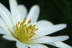 (code poet) Tags: white flower macro beautiful yellow lexington kentucky cemetary center 100mm ccmpclosencounter