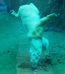 Lunch time (joschmoblo) Tags: bear wild copyright animal animals d50 zoo nikon eating polarbear wildanimal polar 1855 animalplanet allrightsreserved 2007 joschmoblo christinagnadinger