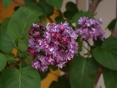DSC02698 (Almudena-) Tags: flores abril 2006 lilas primavera2006