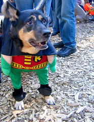 dog wonder (istolethetv) Tags: dog dogs halloween robin photo costume foto image snapshot picture halloweencostume photograph   tompkinssquarepark dogsincostumes dogcostume halloweendogparade tompkinssquareparkdogparade dogsinhalloweencostumes dogsdressedupaspeople canetravestito caneincostume halloweencostumesfordogs