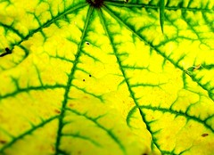 Green Veins (oliviermela) Tags: plant abstract color colour macro green texture yellow contrast digital leaf sony cybershot line crack vein