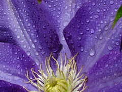 Purple Flower (Krug6) Tags: new flowers usa flower wet closeup america out season drops spring purple time shots south great southcarolina favorites 2006 drop spray carolina april coming myfavorites refreshing purpleflower springtime newlife springishere comingout springhassprung newseason greatshots spring2006 lookingcloser spruing