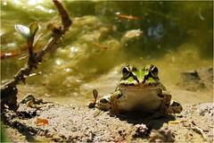 warten auf ... Fliege (BlueBreeze) Tags: green frog grün frosch fliege frühling warten