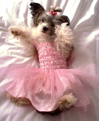 Fairy pooch! (Amy {emelia1502}) Tags: cute angel puppy dress chinese fairy boxer bella britney crested powderpuff cmcaug06