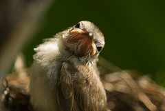 Pointless Fear (bocavermelha-l.b.) Tags: nesting mountfaber insingapore yellowventedbulbul pycnonotusgoiavier foundinmountfaber south–china–sea inthenest babybulbul babybirdsinthenest mi–im shootingwithd200