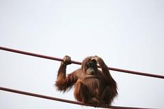 Iris, the Orangutang (akabyam) Tags: 15fav topv111 washingtondc smithsonian nationalzoo fv10 5d 110fav animalplanet akabyam orangurtang