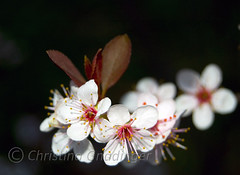 Cherry Blossoms Part Two (joschmoblo) Tags: copyright flower tree d50 cherry nikon bokeh cherryblossoms 1855 cherrytree allrightsreserved 2007 joschmoblo christinagnadinger