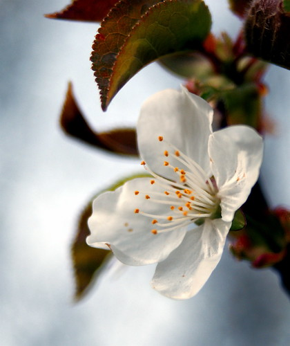Apple Blossom - click to view larger