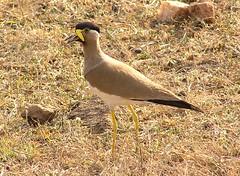 Yellow wattled lapwing (tomato umlaut) Tags: india birds lapwing pench yellowwattledlapwing birdsofindia birdsindia indianbirds vanellusmalabaricus