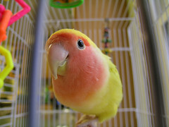 Sunshine the lovebird (adamantine) Tags: orange pet cute bird yellow pretty lovely1 beak parrot cage caged tropical lovebird pappagallo papagei loro papagaio perroquet papegaai 123faves petercristofono