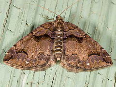 Anticlea vasiliata 20060420_6459 (GORGEous nature) Tags: brown yard washington small moth lepidoptera stevenson skamaniaco geometridae april wa dorsal bmna larentiinae anticleavasiliata mona7329 hydriomenini variablecarpetmoth anticlea johndavis