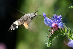 Macroglossum stellatarum on Echium vulgare (imanh) Tags: butterfly macro wildlife nature imanh iman heijboer wildflower zwitserland switzerland kolibrievlinder macroglossum stellarium echium vulgare slangekruid hummingbird hawkmoth flower bloem vipers bugloss macrolife vlinder