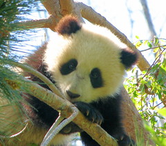 Cute little Su Lin posing after her nap today (kjdrill) Tags: china california bear usa giant zoo panda sandiego center research species endangered pandabear sdzoo sulin fcawinner