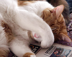 The News Is Always So Bad, I'm Just Not Going To Look at it Anymore (Sister72) Tags: white cat ginger nap kitty sleepy peanut sister72 dontbotherme