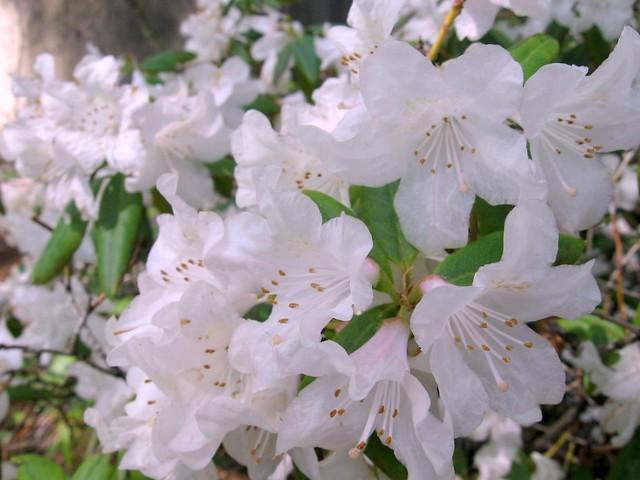 azaleas_white