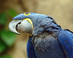 Hyacinth Macaw (Momba (Trish)) Tags: blue bird nikon nikond70 macaw hyacinthmacaw tennesseeaquarium interestingness282 chattanoogatennessee i500 specnature explore29april2006