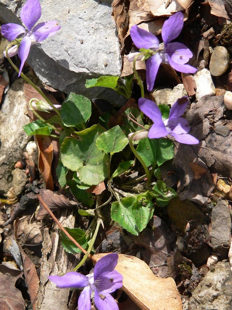 violetas en el campo de Santiago