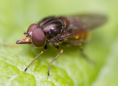 """Hoverfly (Rhingia Campestris)(3) • <a style=""""font-size:0.8em;"""" href=""""http://www.flickr.com/photos/57024565@N00/137358023/"""" target=""""_blank"""">View on Flickr</a>"""