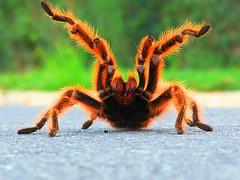 Spider ([RaCo]) Tags: topf25 30 delete10 delete9 delete5 delete2 spider delete6 delete7 abril delete8 delete3 2006 delete delete4 tarantula index aculeo top20spidersandwebs araita lagunaaculeo topphotoblog altojahuel judgmentday54 cumpleaostiomanuel ltytr2 ltytr1