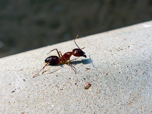 """Go to the ant and be wise"" by Pandlyan on Flickr"
