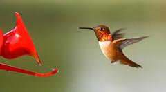 Fiery Gorget! Rufous Hummingbird!!!! (Rick Leche) Tags: searchthebest bokeh britishcolumbia flight rufoushummingbird selasphorusrufus gorget specanimal