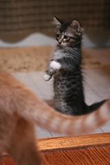 Milo the meerkat
