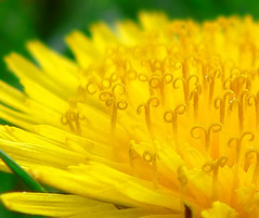 Dandelion Macro (quick5pnt0) Tags: flowers summer flower macro green nature up yellow petals close dandelion panasonic pollen dandelions taraxacum officinale fz15
